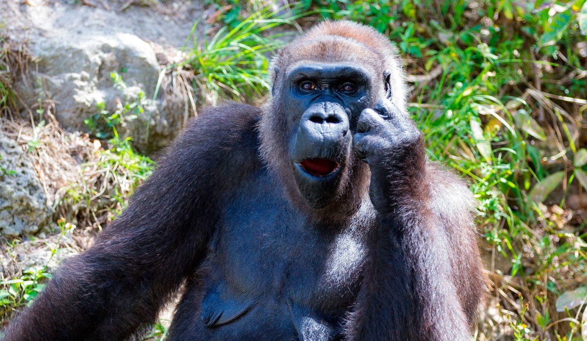 Anatomía de los gorilas :: Imágenes y fotos
