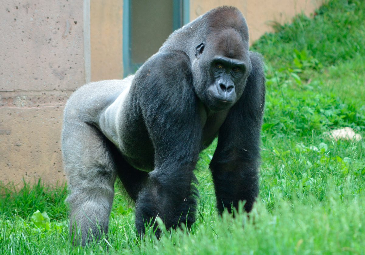 reloj b1c5f e567e Apareamiento de los gorilas de lomo plateado :: Imágenes y fotos