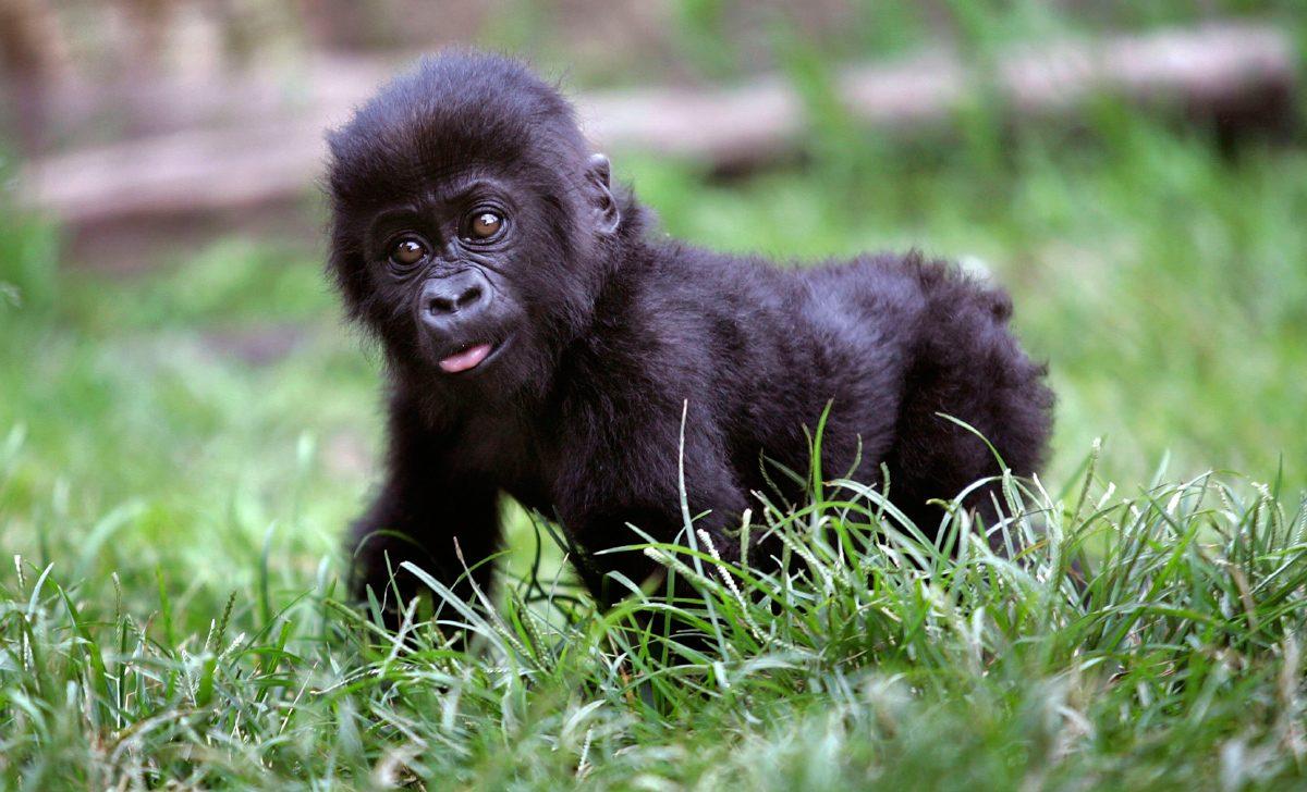 Gorilla >> Desarrollo de los bebés gorilas