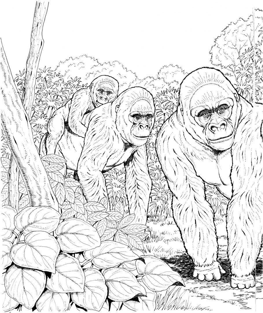 Galer 237 A De Im 225 Genes Dibujos De Gorilas