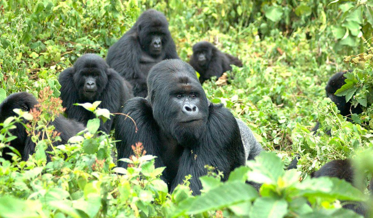 Galer a de im genes gorilas en peligro de extinci n - Immagini del cardellino orientale ...