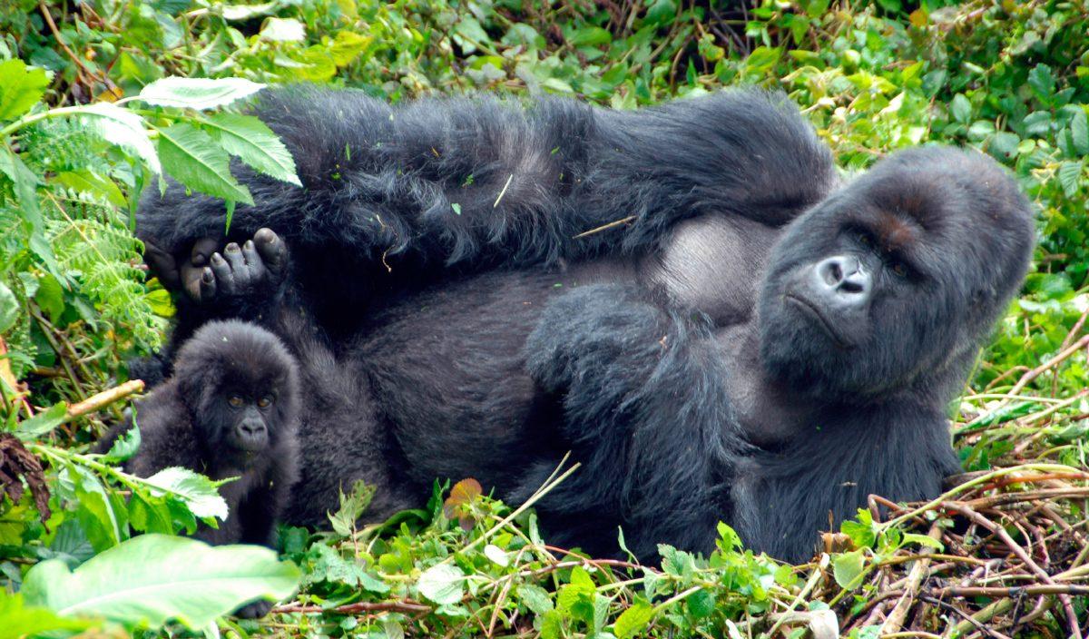 En Peligro De Extinción: Gorilas En Peligro De Extinción