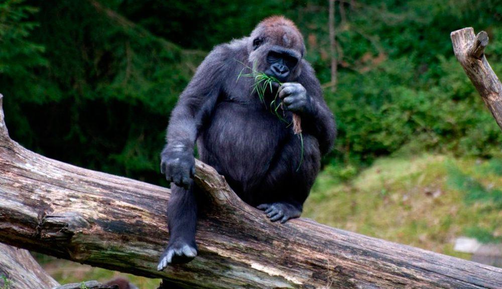 Guía básica sobre gorilas