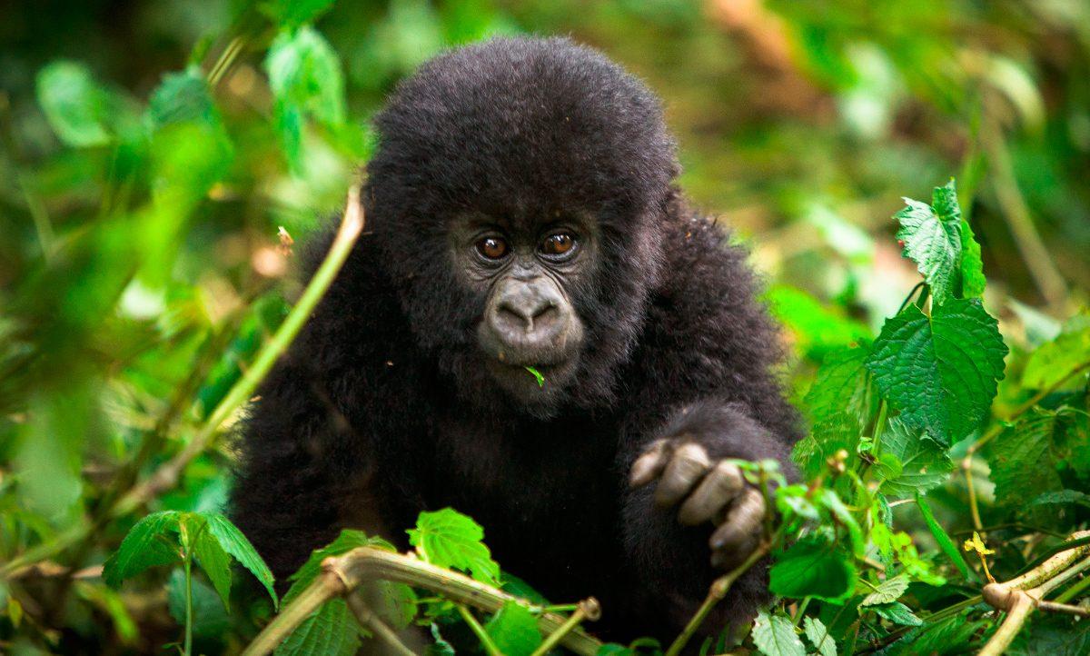 Galería de imágenes: Guía básica sobre gorilas